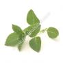 Basil Leaves - Tulsi Patta