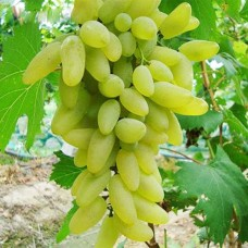 Grapes Green Premium