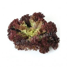 Lettuce Lollo rossa (Red)